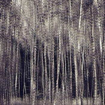 Birch tree by Roman Aj