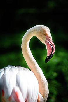 Bird American flamingo by Libor Vrska