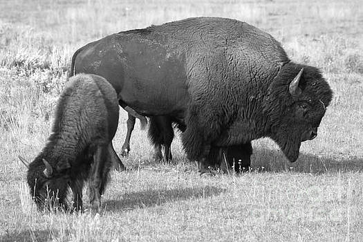 Adam Jewell - Bison And Junior Black And White
