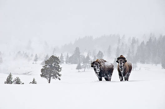 Bison in the Snow by Gary Lengyel