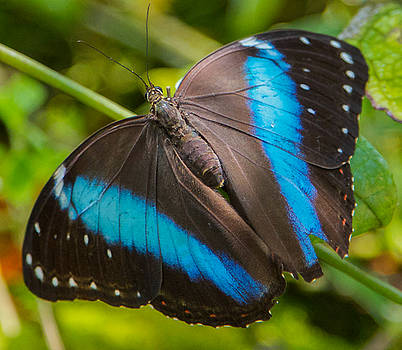 Dee Carpenter - Black and Blue Butterfly