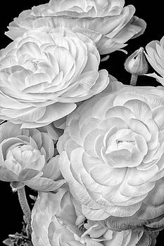 Black And White Ranunculus by Garry Gay