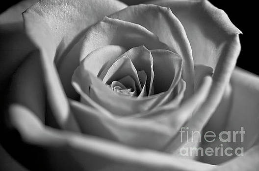 Black and White Rose by Micah May