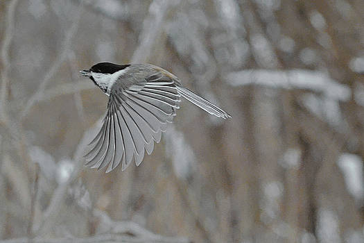 Black-capped Chickadee by Asbed Iskedjian