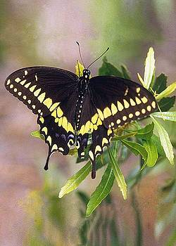 Black Swallowtail by Richard Nickson