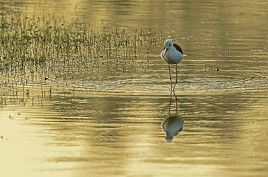Black-winged Stilt by Jean-Luc Baron