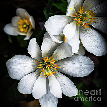 Bloodroot in Bloom by Thomas R Fletcher