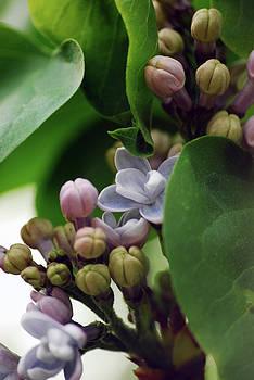 Blooming Lilac by Lori Tambakis