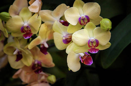 Blooming Orchids by Ruth Jolly