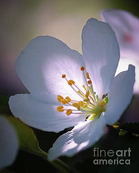 Blossom in the Sun by David Perry Lawrence