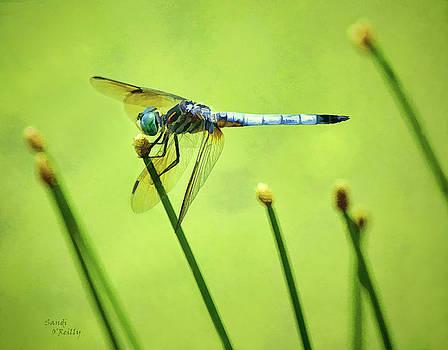 Blue Dasher Dragonfly by Sandi OReilly