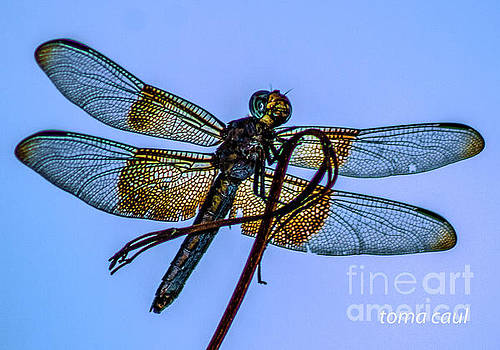 Blue Dragonfly by Toma Caul