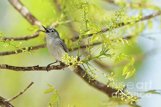 Blue Gray Gnatcatcher by Natural Focal Point Photography