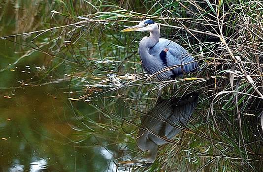Blue Heron Reflection by William Bosley