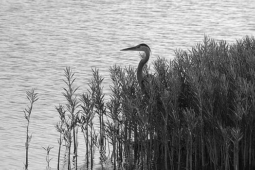 Blue Heron by Vonda Barnett