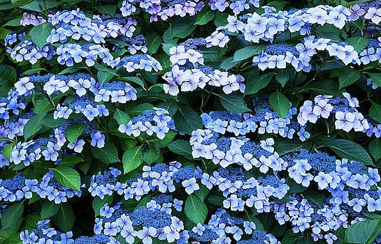 Miksang 12 Blue Hydrangea by Theresa Tahara