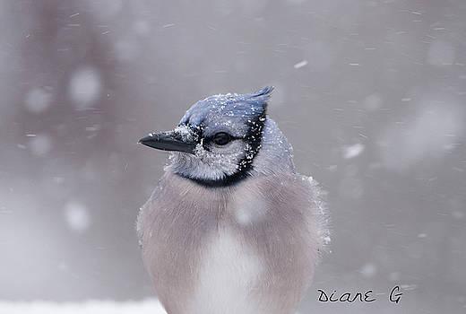 Blue Jay in a blizzard by Diane Giurco