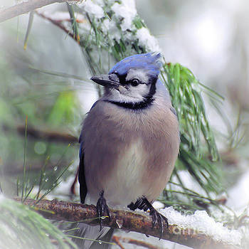 Blue Jay in the Snow by Kerri Farley