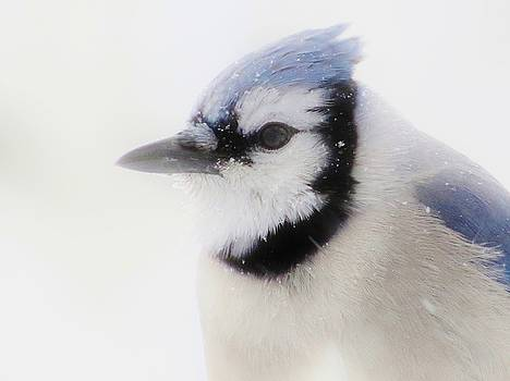 Blue Jay in Winter by Lori Frisch