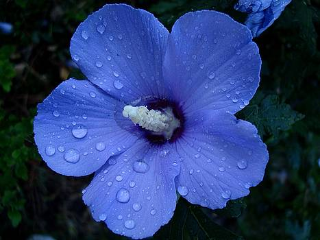 Blue Rose of Sharon II by Michiale Schneider