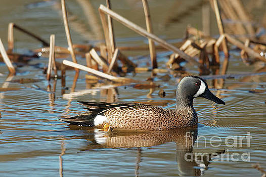 Blue Winged Teal by Natural Focal Point Photography