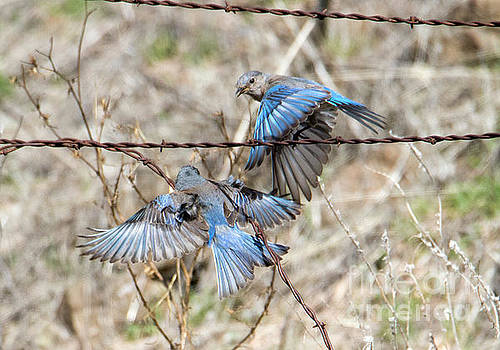 Bluebird Battle by Mike Dawson