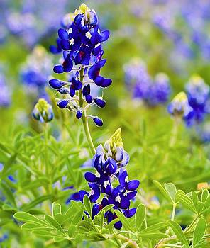 Bluebonnets by Lisa Comperry