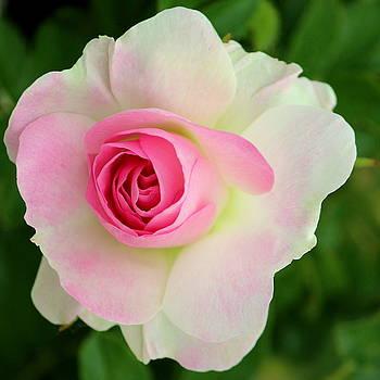Rosanne Jordan - Blushing Rose