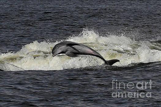 Bottlenose Dolphin by Meg Rousher