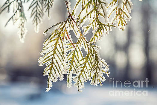 Branch thuja cypress tree in snow by Victoria Kondysenko