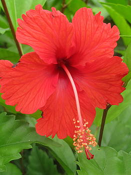 Bright Red Hibiscus by Steve Madore
