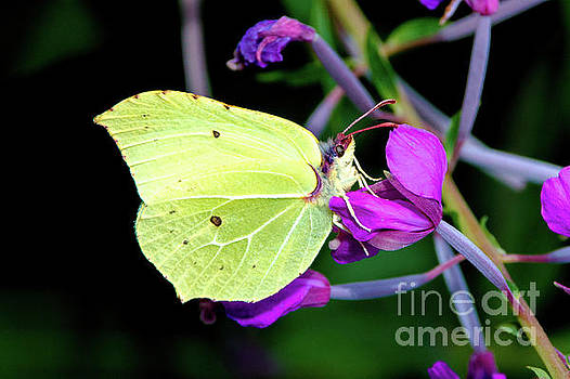 Brimstone butterfly by Amanda Mohler