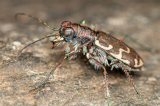 Bronzed Tiger Beetle by Derek Thornton