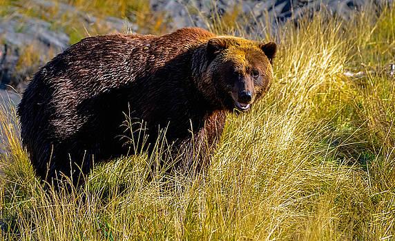 Brown Bear by Brian Stevens