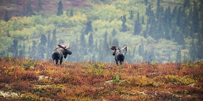 Bull Moose Rut by Greg Grupenhof