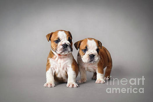 Waldek Dabrowski - Bulldog puppies
