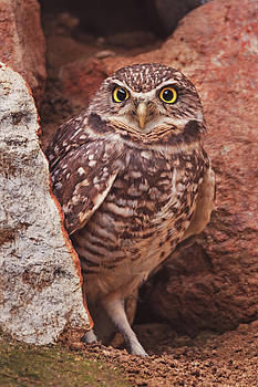 Burrowing Owl  by Brian Cross