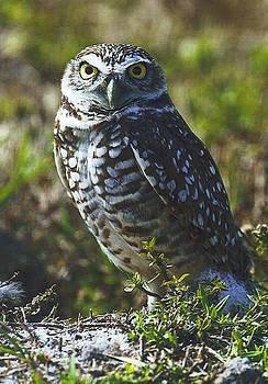 Diane Kurtz - Burrowing Owl