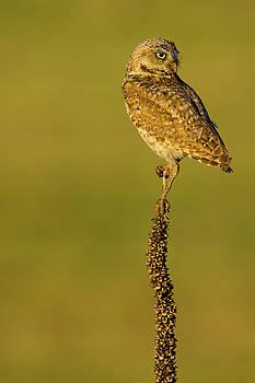 Burrowing Owl In Sunlight by John De Bord