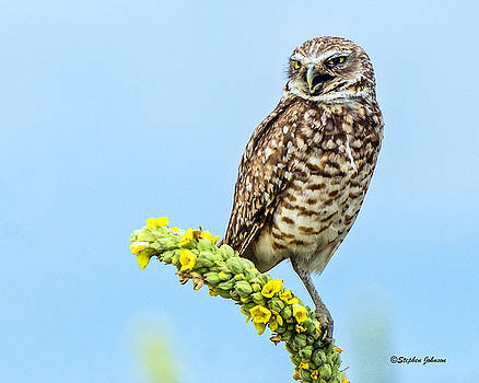 Burrowing Owl on Mullein Plant by Stephen  Johnson