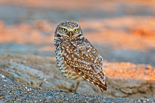 Burrowing Owl Portrait by Wes and Dotty Weber