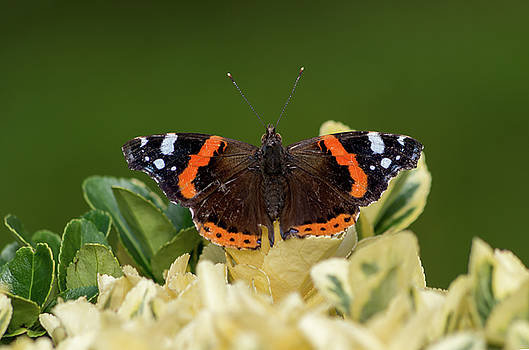 Butterfly II by Paulo Goncalves