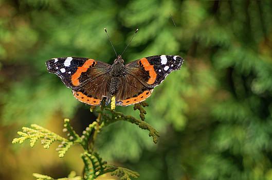 Butterfly III by Paulo Goncalves