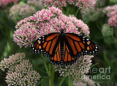 Butterfly On Sedum by Lori Tordsen