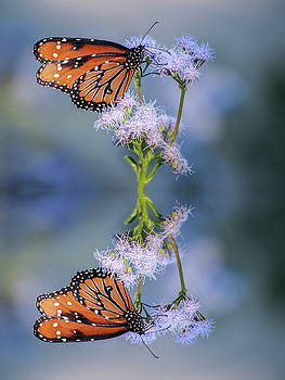 Tam Ryan - Butterfly Reflection