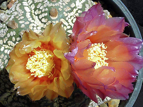 Cactus Flower 3 by Selena Boron