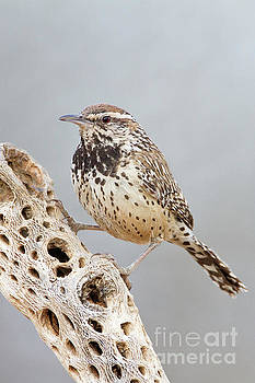 Cactus Wren and Cholla rib  by Bryan Keil
