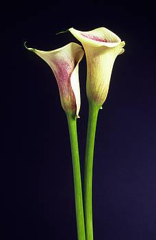 Calla Lilies by Richard Hayman