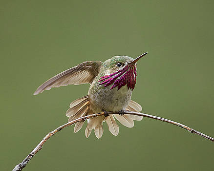 Calliope Hummingbird by Doug Herr