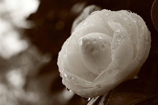 Gaspar Avila - Camellia japonica